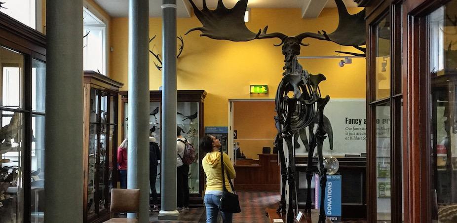 Elk skeleton at the Dead Zoo, Dublin